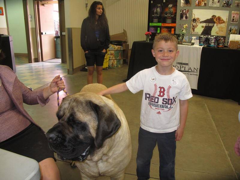Bristol the English Mastiff